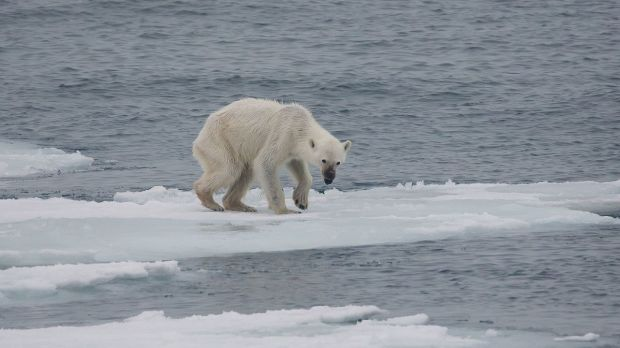 Endangered_arctic_-_starving_polar_bear